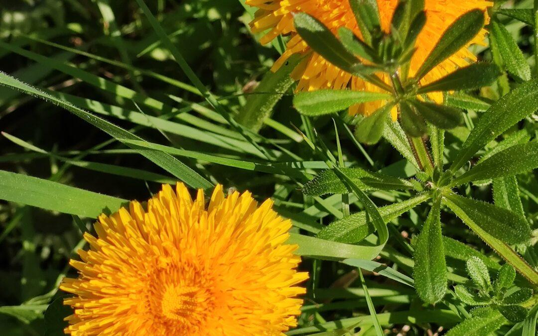 imagen de flor de diente de león